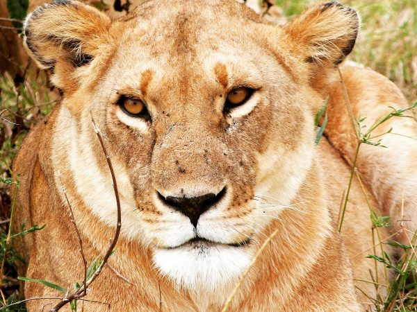Une lionne que l'on peut observer lors d'un safari au Masai Mara