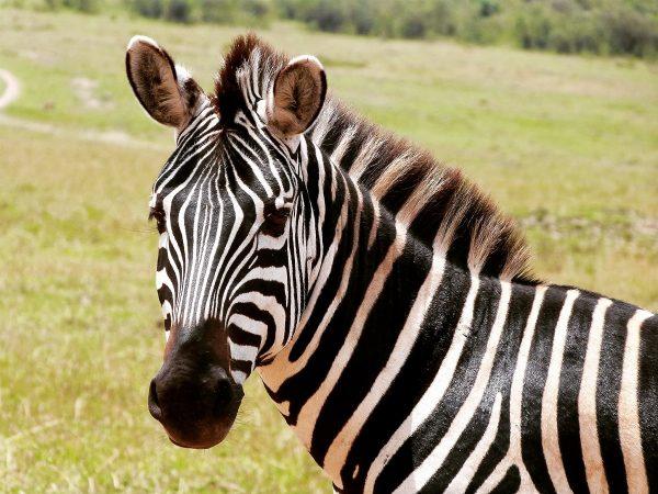 Zèbre dans le Masai Mara