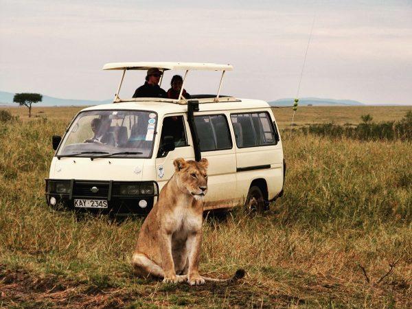 Une lionne devant un 4x4 dans le Masai Mara