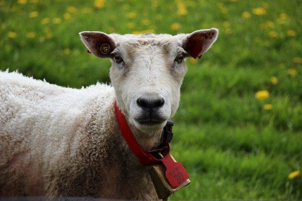 Les moutons ne sont jamais loins en Norvège...