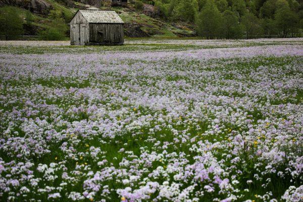 Clairière près d'Odda en Norvège