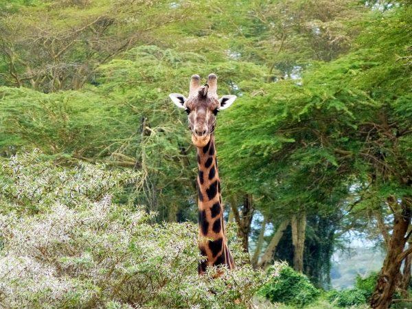 Une girafe aperçue lors d'un safari au lac Nakuru, tachetée de noir