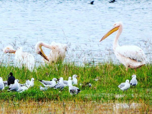 Les oiseaux du lac Nakuru au Kenya