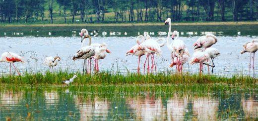Flamants roses du lac Nakuru au Kenya