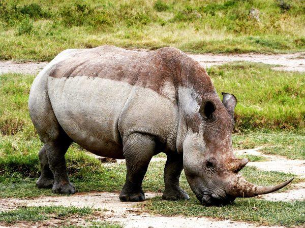 Un rhinocéros dans le parc de Nakuru au Kenya