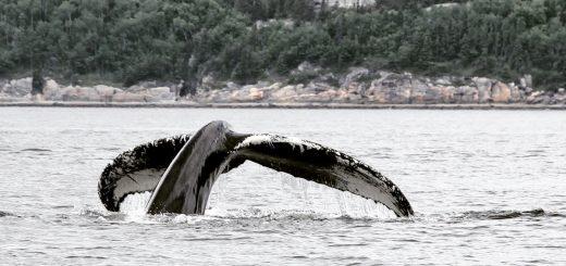 L'observation des baleines à Tadoussac