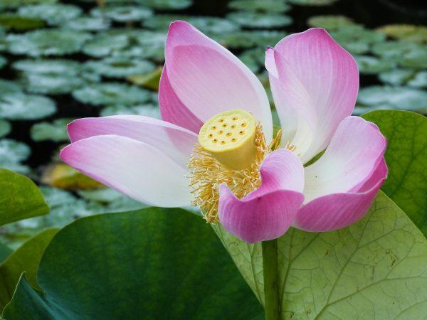 Fleur de lotus à Tirta Gangga, Bali