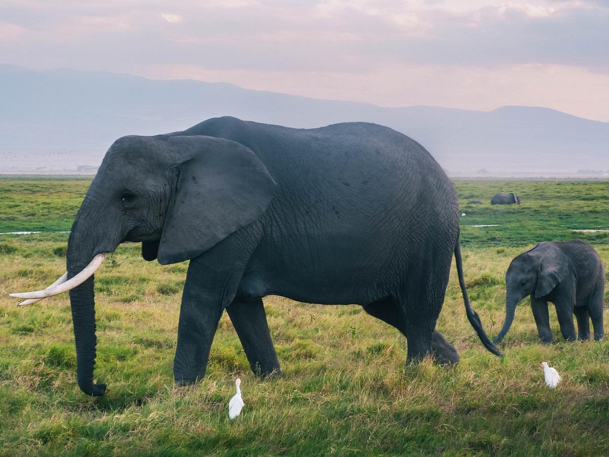 Eléphant et son éléphanteau aperçus durant un safari à Amboseli