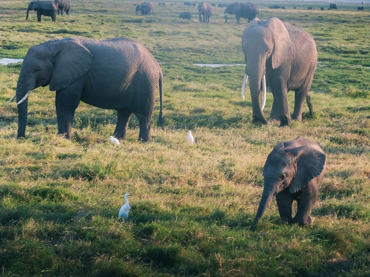 Eléphanteau dans la réserve d'Amboseli au Kenya