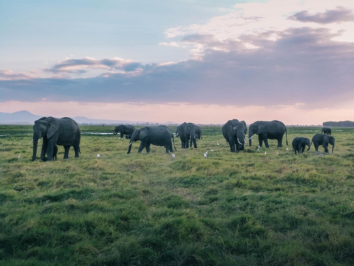 Troupeau d'éléphants aperçus durant un safari à Amboseli au Kenya