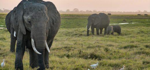 Parc national d'Amboseli au Kenya
