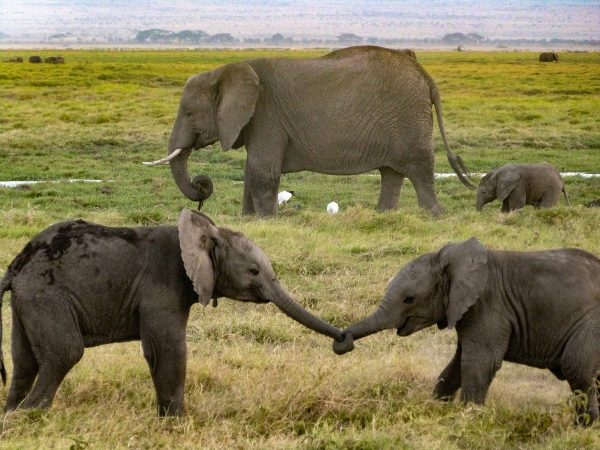 Des éléphanteaux qui jouent dans le parc national d'Amboseli