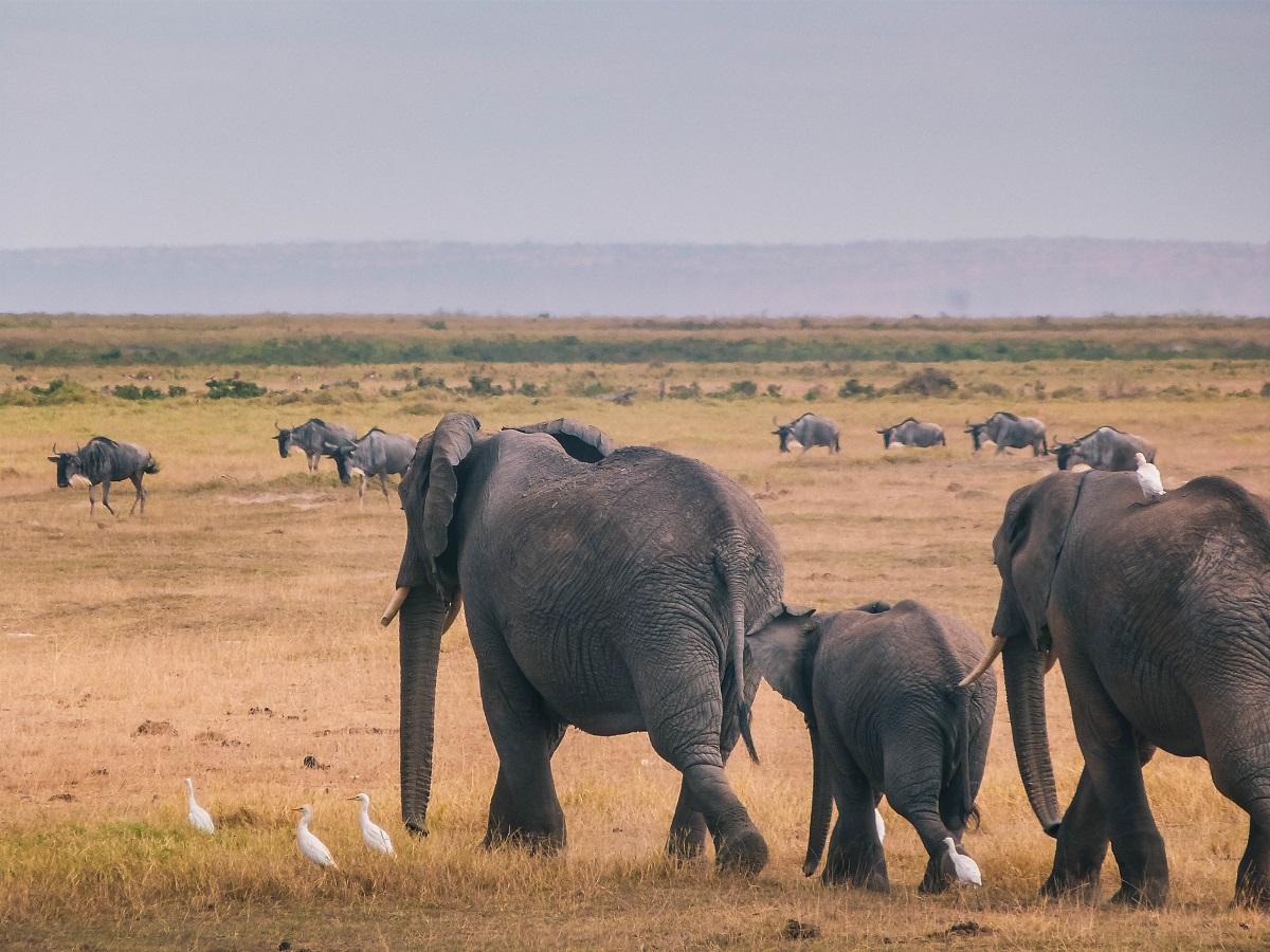Dans le parc national d'Amboseli au Kenya