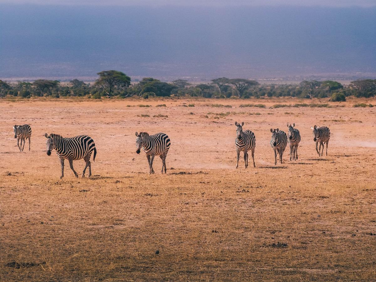 Zèbres vus durant un safari à Amboseli au Kenya