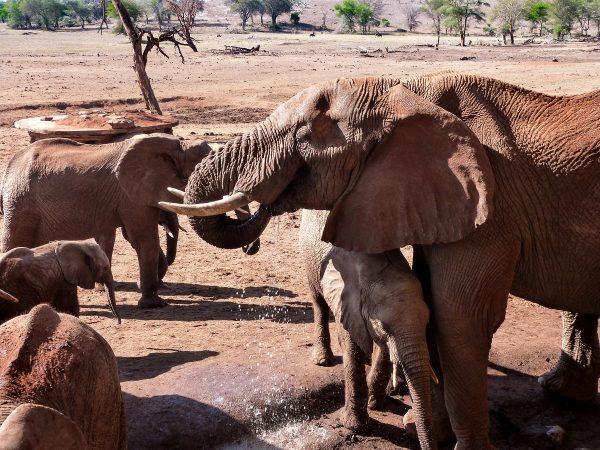 Les éléphants qui s'abreuvent au pied du Sarova Saltlick Lodge