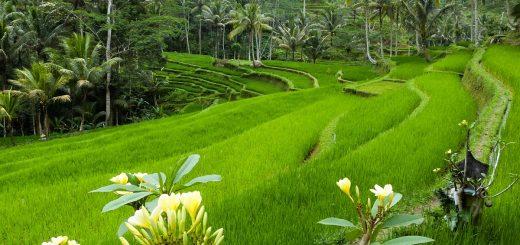Des rizières à Bali, près du temple de Gunung Kawi