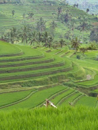 Dans les rizières de Jatiluwih à Bali