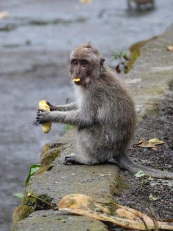 Un singe à Ubud, Bali