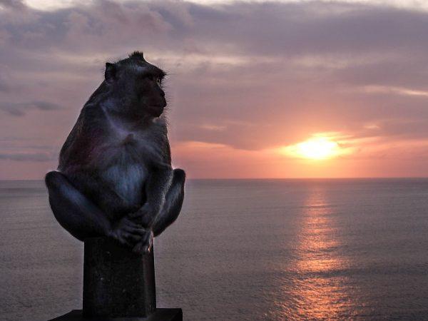 Singe au coucher de soleil, à Uluwatu, Bali
