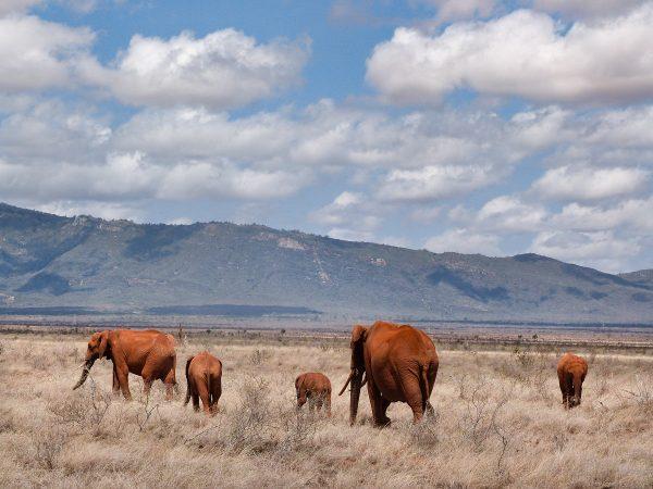 Les éléphants aux couleurs ocres dans le parc de Tsavo Ouest