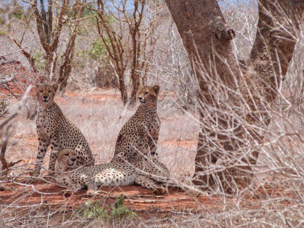Des guépards dans le parc Tsavo Est
