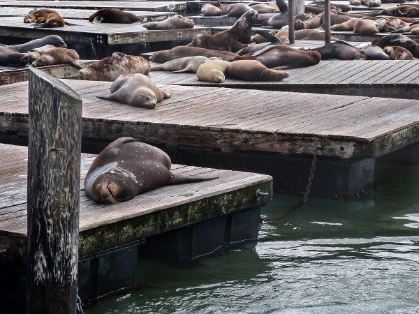 Les otaries du Pier 39 : une attraction à San Francisco
