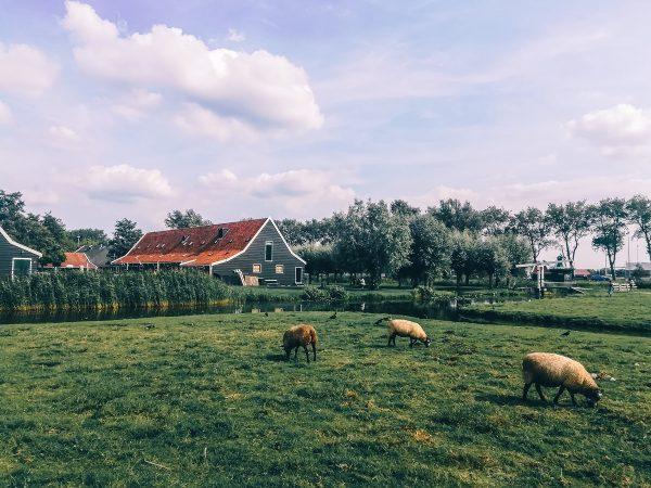 Ferme à visiter à Zaanse Schans