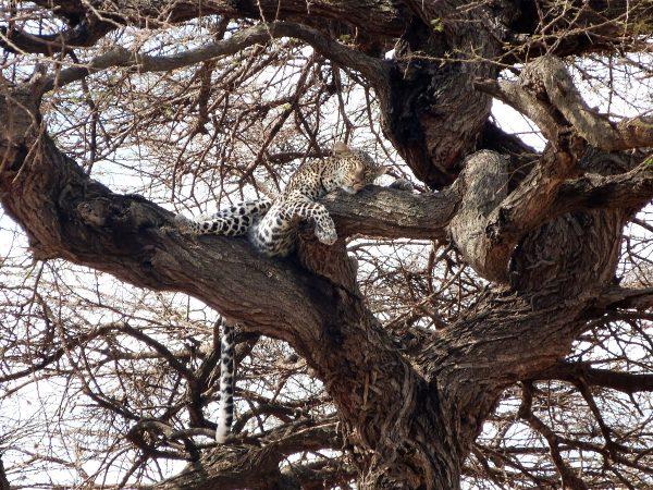 Léopard dans un arbre à Tsavo ouest au Kenya