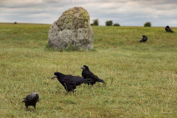 Les corbeaux sont présents sur le site de Stonehenge