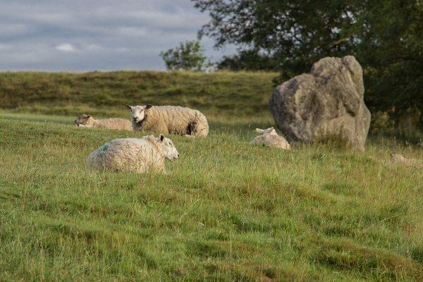 Les moutons aux pieds des menhirs dans Avebury