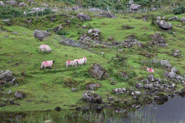 Des moutons dans la vallée du Gap of Dunloe