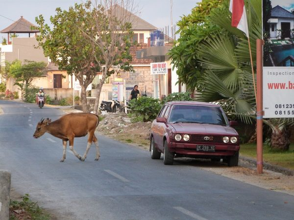 Des animaux sur la route à Bali