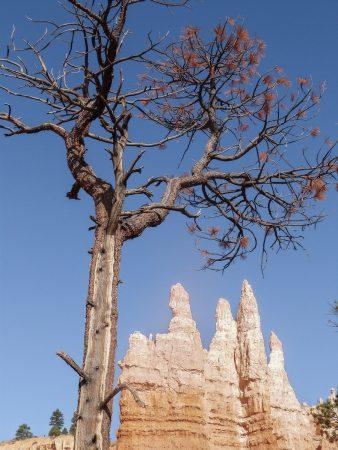 Un arbre dans Bryce Canyon