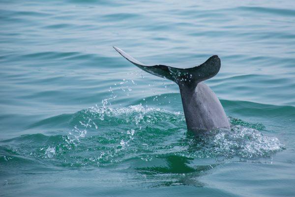 L'observation des dauphins lors d'une sortie en mer au Bahreïn