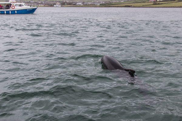 Le dauphin Fungie dans la baie de Dingle en Irlande