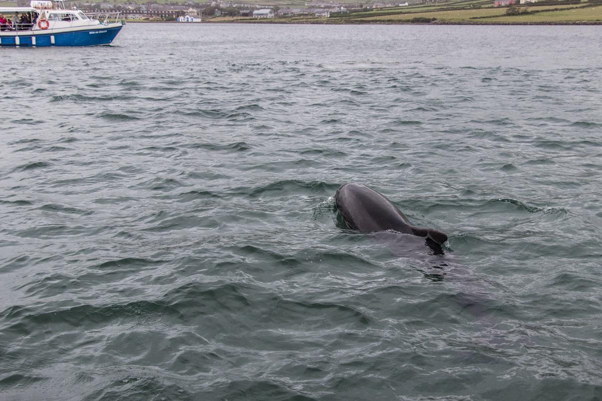 Le dauphin de Dingle   mon retour d expérience   Hashtag Voyage 1298a520e30f