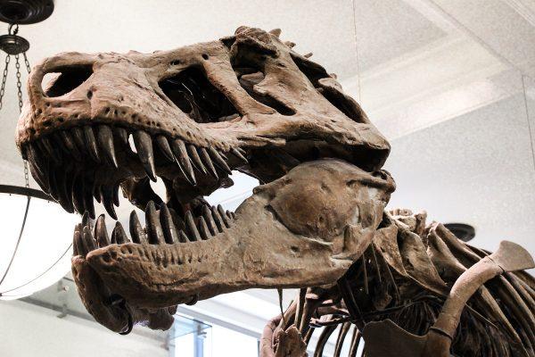 Un squelette de tyrannosaure au museum d'histoire naturelle de New-York