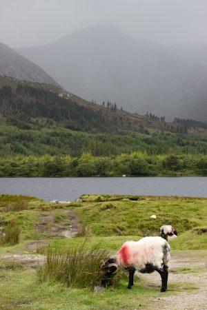 Croiser des moutons est incontournable lors d'un roadtrip en Irlande