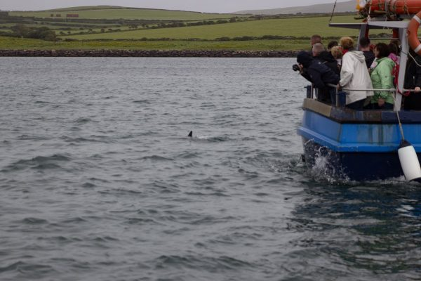 L'observation du dauphin Fungie depuis le bateau
