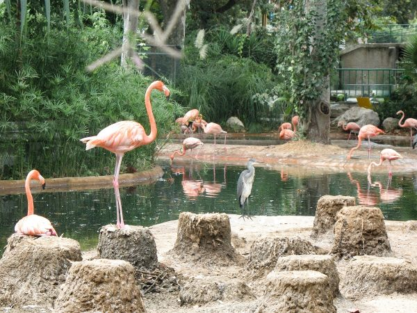 Des flamants rose dans le zoo de Barcelone