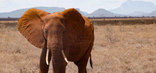 Un éléphant au Kenya