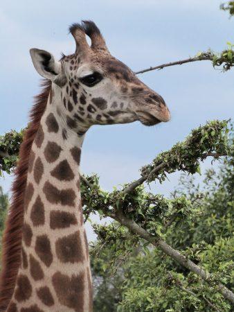 Girafe au Kenya