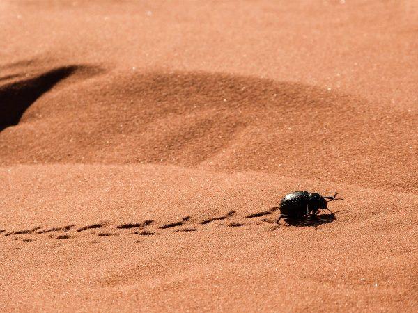 Insecte dans le désert de Merzouga