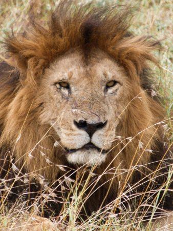 Lion au Kenya