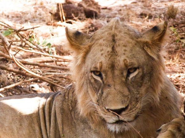 Une lionne qui se repose dans un parc du Kenya