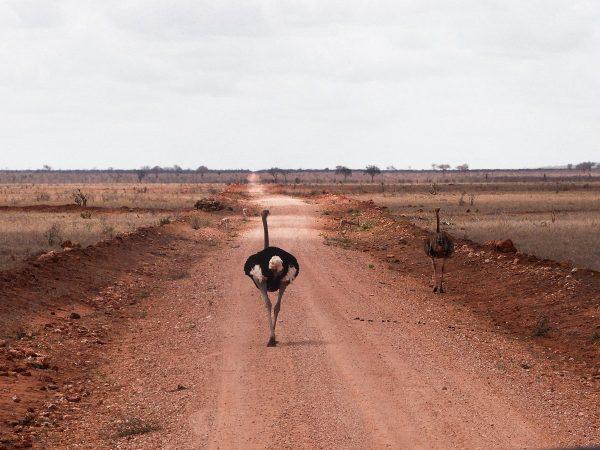 Autruche marchant au milieu d'une piste au Kenya