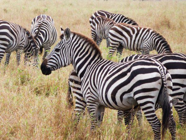 Zèbres dans le Masai Mara