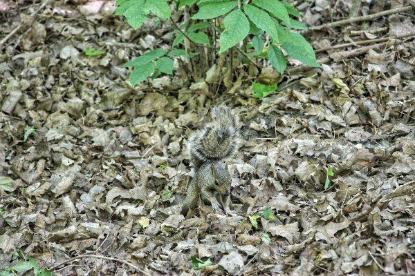 Un écureuil dans le parc du Mont-Royal de Montreal
