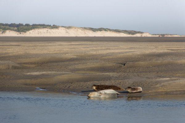 Les phoques dans la baie d'Authie, à Berck