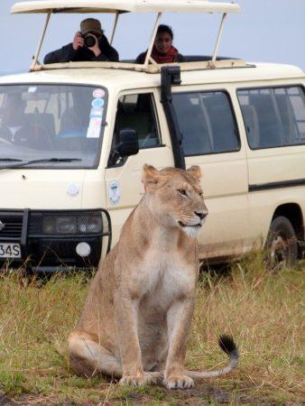 Cette lionne à proximité du 4x4 se fait prendre en photo